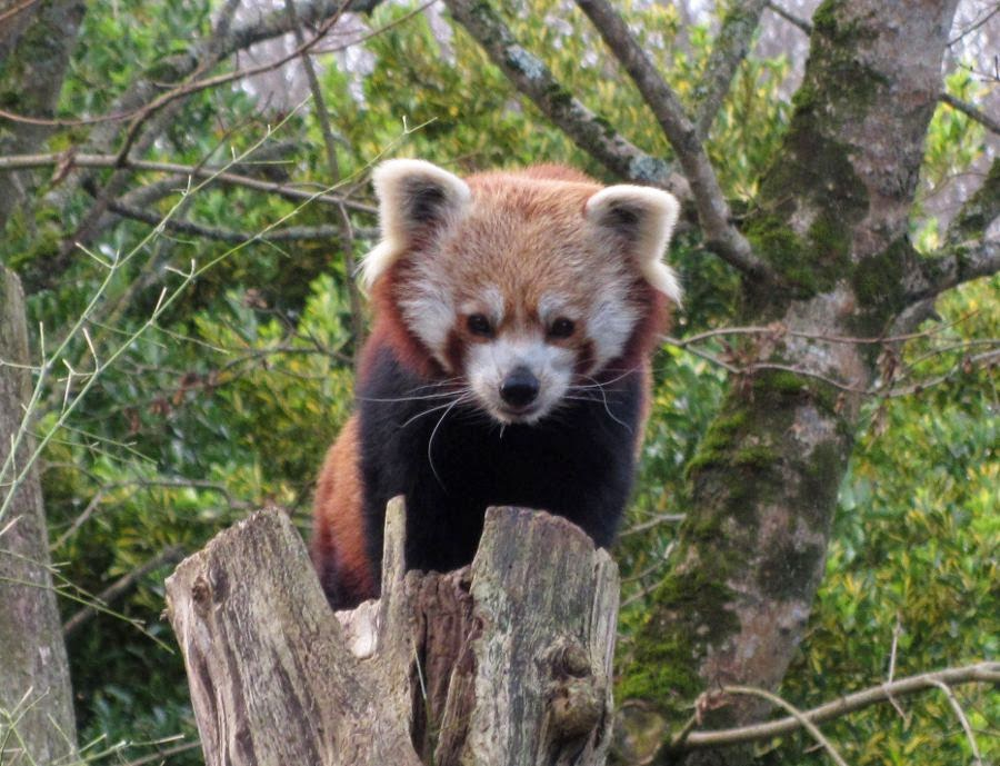 red panda Newquay Zoo