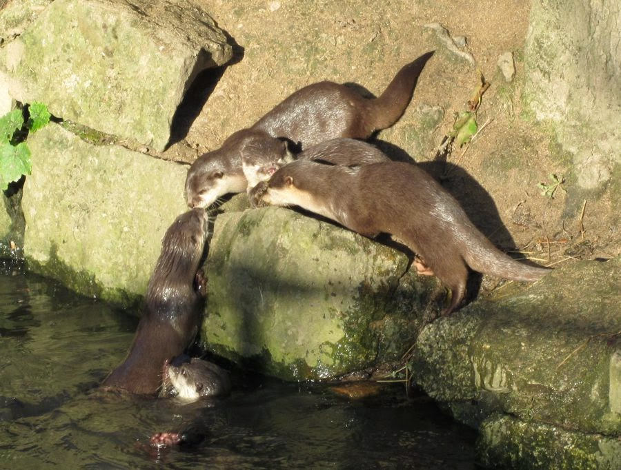 otters Newquay Zoo