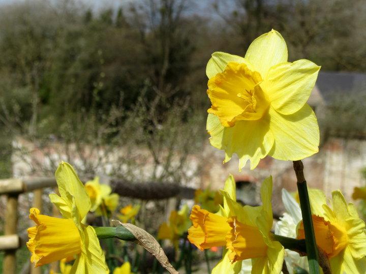 daffodils at Prinknash Abbey