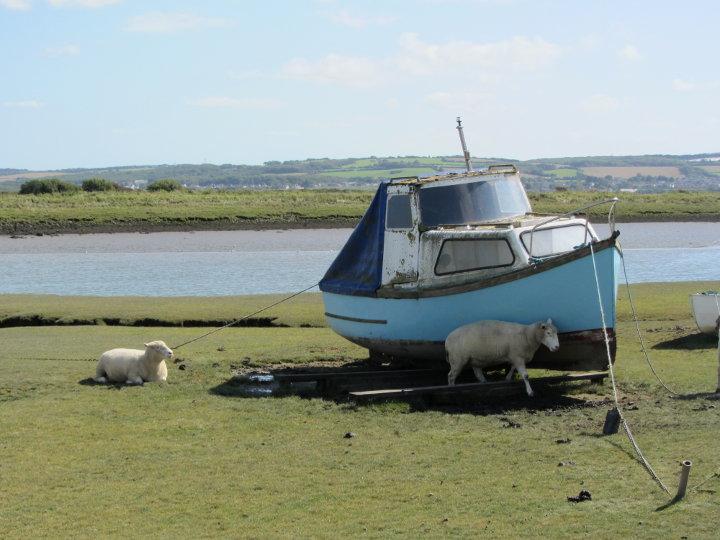 sheep Braunton