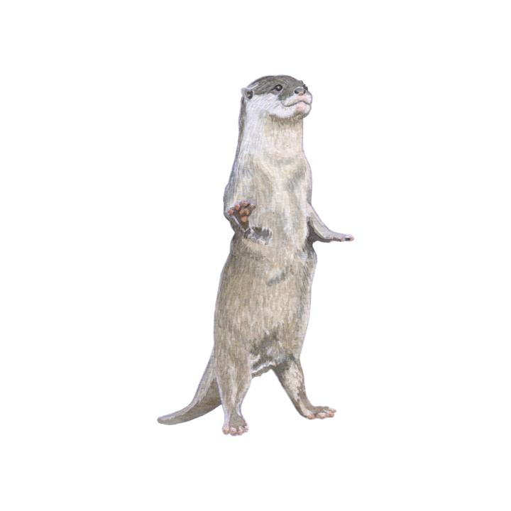 wildlife animal illustration otter