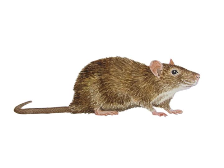 Watercolour rat - wildlife illustration