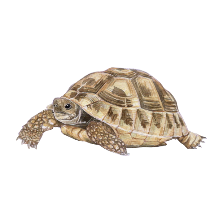 wildlife animal illustration tortoise